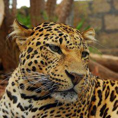 Jaguar Panthera   Steve Liptrot › Portfolio › Jaguar (Panthera onca)
