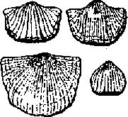 Illustration: Brachiopods fossil hunting white river gorge Richmond Indiana