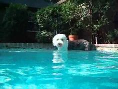 ▶ Cottondogs puppy, Elfie the beautiful Old English Sheepdog swimming, July 2010, 11 months old - YouTube
