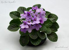 Tiny Tim | (Storytella) Single purple shaded. Miniature.