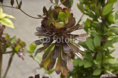 Agavengewächs (Agavoideae) oder auch Sukkulenten