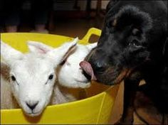 Pasqua 2017 senza agnello in tavola: qualazampa.news lancia la campagna #Dogs4Lambs :http://www.qualazampa.news/2017/03/29/pasqua-2017-senza-agnello-in-tavola-qualazampa-news-lancia-la-campagna-dogs4lambs/