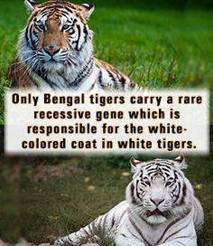 Bengal Tiger Facts