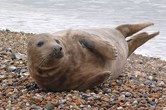 """Trevor"" the Greay seal on Seaford Beach."