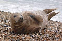 """Trevor"" the Greay seal on Seaford Beach."