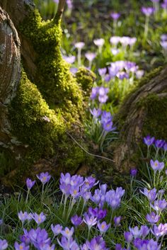 Carpet of crocuses portait Garden Spring! At the sight of the crocus . - Carpet of crocuses portait garden Spring! When I see the crocuses in the moss – it mak - Woodland Garden, Woodland Flowers, Forest Flowers, Landscape Designs, Dream Garden, Amazing Nature, Beautiful World, Beautiful Forest, Beautiful Landscapes