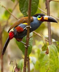 The amazing Plate-billed Mountain Toucan at Bellavista Lodge in Northern Ecuador by Dubi Shapiro.
