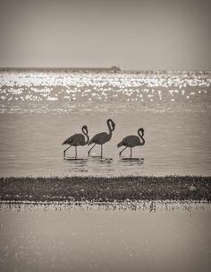 Flamingo Trio at Walvis Bay, Namibia