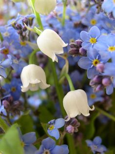 Forget-Me-Not and Lilly-of-the-Valley