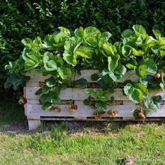 Growing Strawberries In Wooden Pallets
