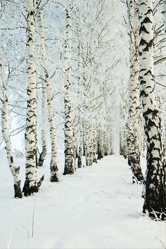 birch trees in the winter