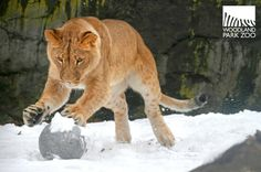Our lion cubs had a hay day with Seattle's recent snowfall.