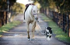 Border Collie Border collie Hekan takes stunt horse Kiko for some exercise. - When Steve Jefferys says his dog can do anything, he's not horsing around. His dog, a border collie named Hekan -- as in, hekan do it -- regularly . Horses And Dogs, Animals And Pets, Funny Animals, Cute Animals, Beautiful Horses, Animals Beautiful, Herding Dogs, Dog Names, Belle Photo