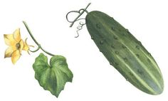 Black and White Botanical Drawing Vegetable | Stock Illustration - Garden cucumber (Cucumis sativus)