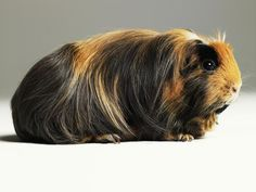 Keeping Guinea Pigs as Pets: Feeding Tips