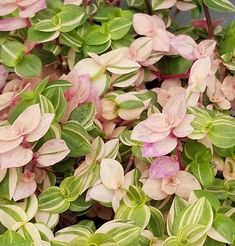 Callisia repens 'variegata' variegated Bolivian jew