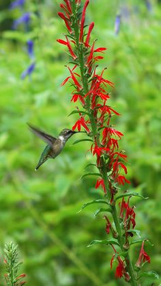 At the peak of Ruby-throated Hummingbird migration the Nature Center in Cape May offers tours of private hummingbird gardens. Savor an array of diverse gardens that have hosted nesting hummingbirds since May and are now drawing in dozens of migrants.  Native nectar plants, healthy insect populations, water sources, and adequate cover are key elements of each garden.  Visit http://www.njaudubon.org/SectionCenters/SectionNCCM/GardenPrograms/WildlifeGardenTours.aspx for dates, times, & more…