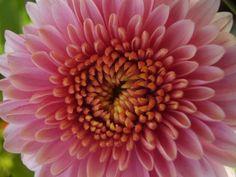Chrysanthemum - 'Brietner'.  Fall flowers. Full sun.  Credit: monica_meeneghan via Flickr