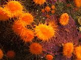 Coral - Wikipedia, the free encyclopedia