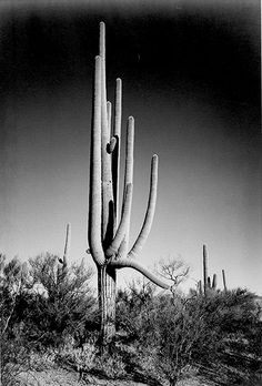 Saguaro National Monument by Ansel Adams