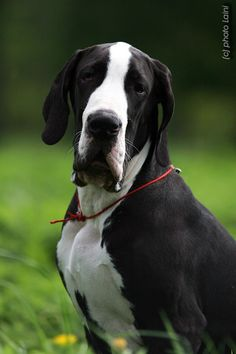 Great Dane. BIG puppy! Nice puppy! I love Great Danes that aren't cropped.