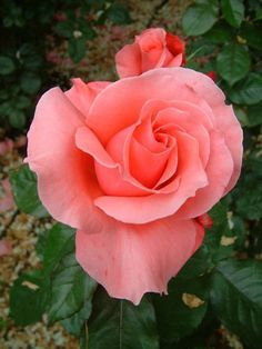 Image result for American pink roses