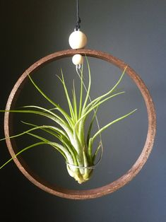 Mixed Air Plant Set Gift Idea Hanging Tillandsia Holder Terrarium Airplants Display Indoor Wood Planter Plant Hanger Wall Hang - All About Gardens
