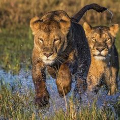 . Photo by @cfischephoto A pair of female lionesses along with a male their  in Duba plains, deep in the okavango delta. These two chased each other, running and playing like little kittens. #wildlife #lion #lioness #okavango #running #cfischephoto #delta