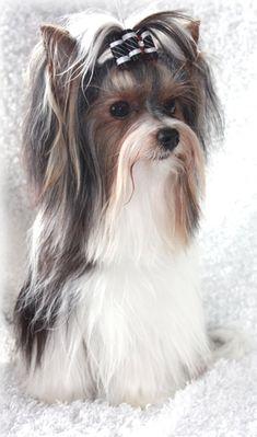 Biewer Yorkie Terrier. Just love their hair! #yorkshireterrier