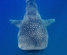 whale shark-gentle giant of the sea Shark Images, Ocean And Earth, Whale Sharks, Gentle Giant, Wonderful Things, Wildlife, Bucket, Creatures, Fish