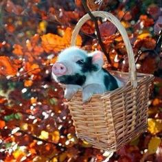 Pig in a Basket!