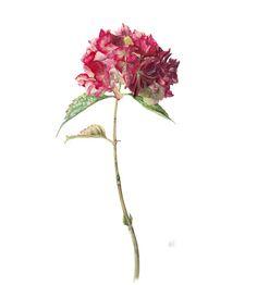 Gael Sellwood Hydrangea macrophylla - Altona