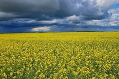 One of the best views, seeing a lovely Canola field before needed rain!