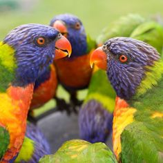 australian wildlife pics | Australian Native Wildlife
