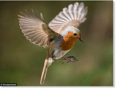 Migrating birds appear to have a 'sixth sense' which means they always manage to find their nesting grounds - a talent that has long mystified scientists. Now researchers have found the secret to this skill is down to a protein in the bird's eyes. Bird Pictures, Nature Pictures, Small Birds, Pet Birds, Animals Of The World, Animals And Pets, Nightingale Bird, European Robin, Zebra Finch