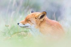 Snoozing ~ Joke Hulst is a Dutch Photographer who captures the everyday lives of foxes