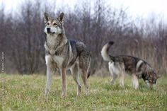best images and photos about saarloos dog - dogs that look like wolves Tamaskan Dog, Czechoslovakian Wolfdog, Saarloos, Cute Animals, Crazy Animals, Snow Dogs, Purebred Dogs, Wolfhound, Photo Reference