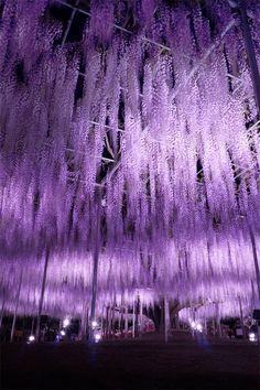 Ashikaga Flower Park, Tochigi, Japan #藤 #Wisteria via αcafe | My Sony Club | ソニー