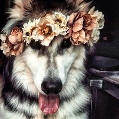 Wolamute (timber wolf and malamute), boho dog with flower crown