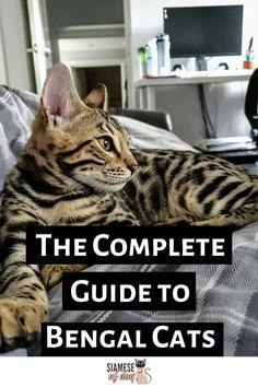 Bengal Kitten, Siamese Cats, Ragdoll Kittens, Tabby Cats, Funny Kittens, Adorable Kittens, Kitty Cats, Asian Leopard Cat, Cat Diet