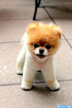 Marvelous Pomeranian Does Your Dog Measure Up and Does It Matter Characteristics. All About Pomeranian Does Your Dog Measure Up and Does It Matter Characteristics. Pomeranian Haircut, Pomeranian Puppy, Boo Puppy, Cute Puppies, Dogs And Puppies, Jiff Pom, Baby Animals, Cute Animals, Pet Dogs