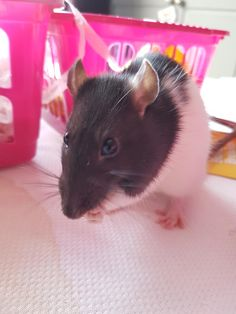 Zar is the more skittish of my two rescues but today she climbed all over me and I was so proud of her! #aww #cute #rat #cuterats #ratsofpinterest #cuddle #fluffy #animals #pets #bestfriend #ittssofluffy #boopthesnoot