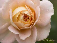 Rosenbild-Kunstdruck-Leinwandbild mit Rose in Aprikot