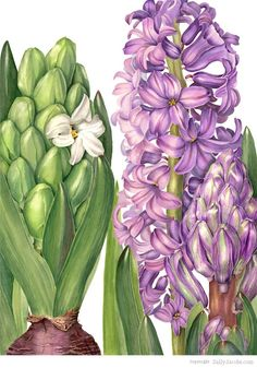 Purple hyacinth by Sally Jacobs. Welcome to my gardening blog http://www.facebook.com/flowerindoorgardening #hyacinth  #bulb