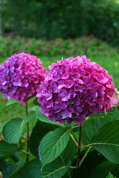 Let's Dance Rave reblooming hydrangea erupts with an abundance of intensely colored flowers, from rich violet purple to magenta.