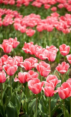 Ahhh Spring is here...Fields of lovely Pink Tulips!