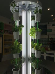 The NutriTowers at Vertu are growing full force!