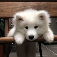 22 Samoyed Saturday Dog Samoyed Photos Who doesnt love cute fluffy dogs and are some of the cutest. Shitzu Puppies, Samoyed Dogs, Cute Dogs And Puppies, Baby Puppies, Baby Dogs, Pet Dogs, Dog Cat, Pets, Doggies