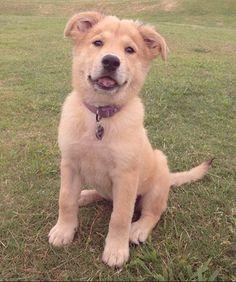Golden Chow  - Retriever Chow 15 Adorable Dog Breed Mash-Ups