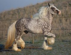 a beautiful grey dapple. looks similar to an andalusian or lippizaner